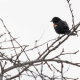 First Photo of the season of a Red-Winged Blackbird at the West Rutland Marsh