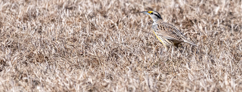 Eastern Meadowlark in the back meadow. First of the Year - FOY