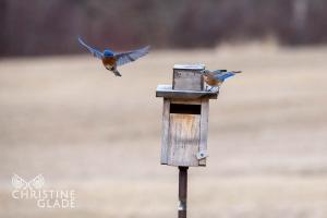 Bluebird Male feeding Female