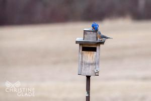 Bluebirds on nestbox Male feeding Female
