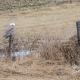 Snowy Owl atop a fencepost