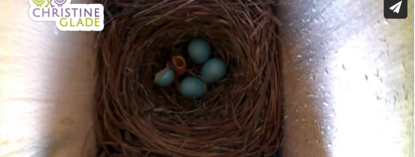The First Baby Bluebird Hatching from Egg