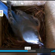 Father Bluebird feeding mother, who then feeds babies.