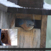Bluebird Nest Cam Video