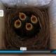 Four Baby Bluebirds