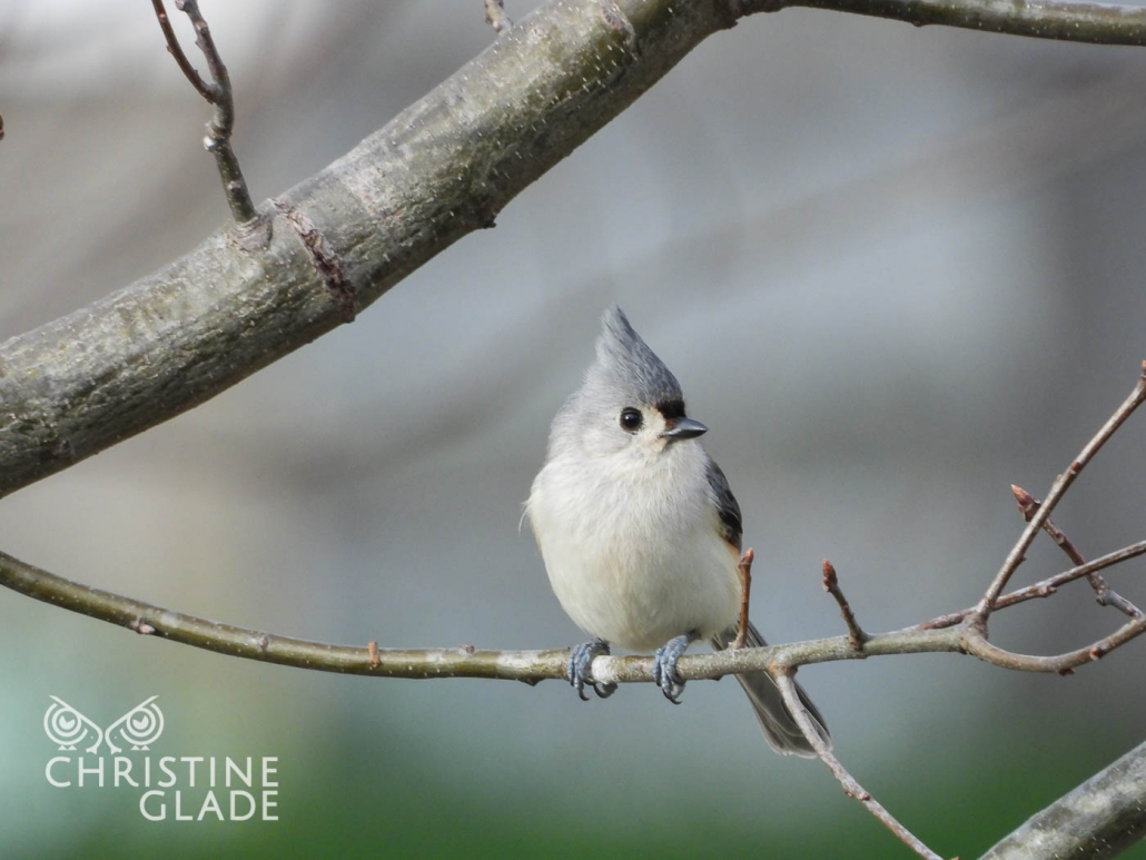 Adroable Tufted Titmouse