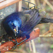 Grackle in the Rain At the Feeder