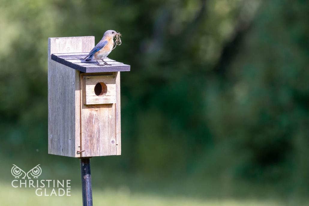 Female Bluebird building a nest in 2019
