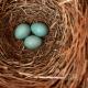 Three Buebird Eggs in the Nest