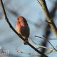Male Purple Finch in the Maples