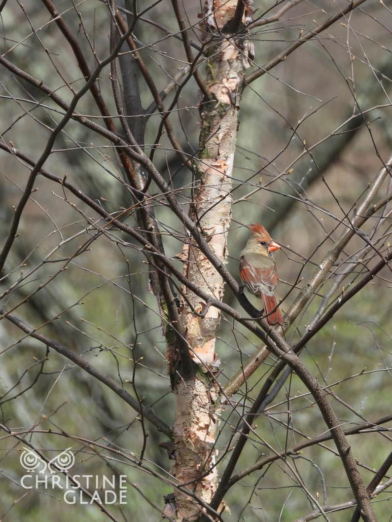 Female Cardinal in the River Birch