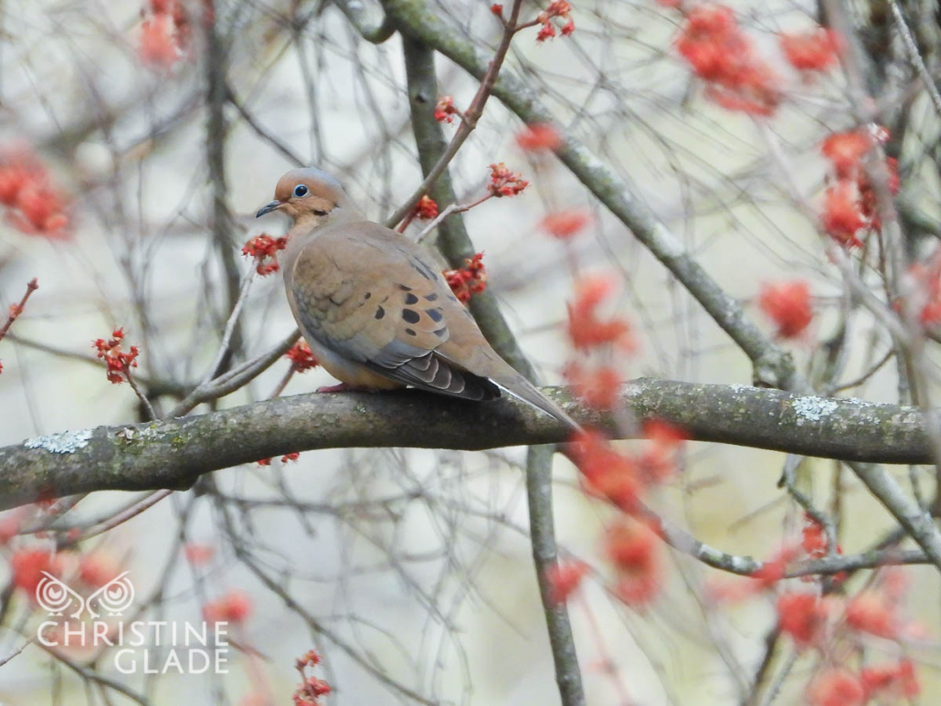 Mourning Dove in the Maple Trees