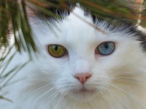 Savannah, Our Heterochromia iridum cat