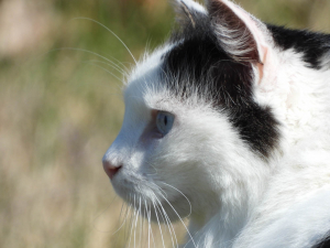Savannah - The Princess Cat