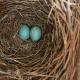 Two Bluebird Eggs