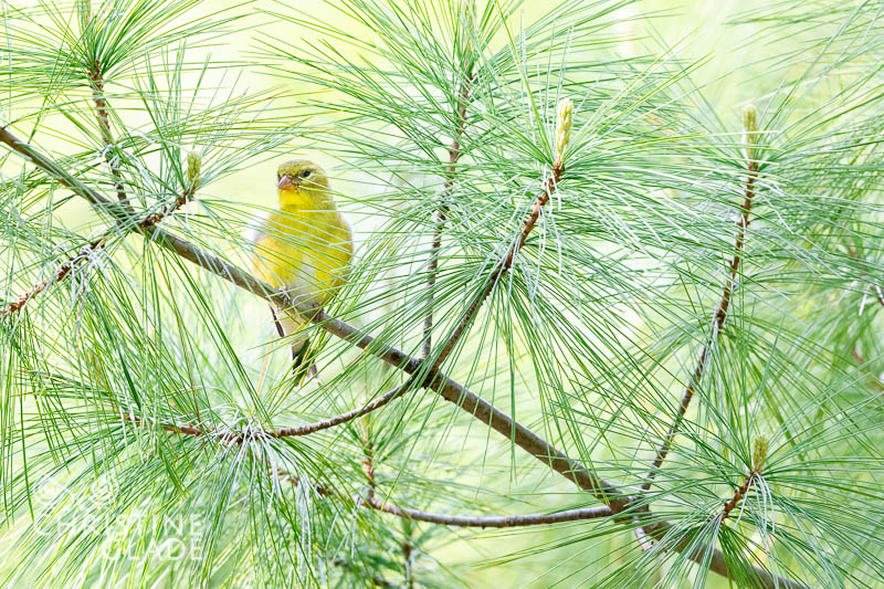 Female American Goldfinch - a spark of sunshine in the pines