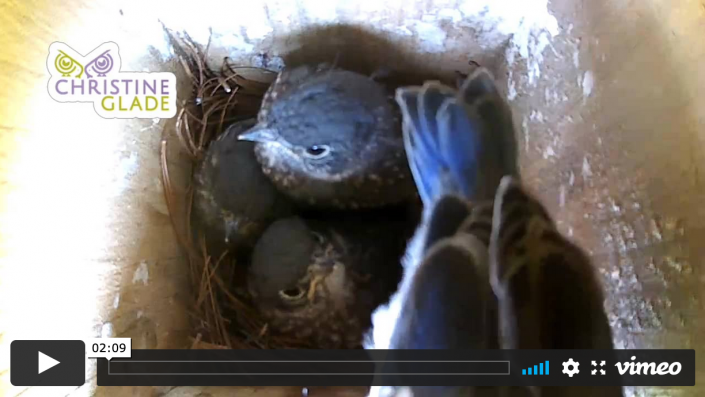 Baby Bluebirds Readying to Fledge