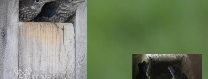 Baby Bluebirds Leaving the Nest