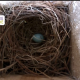 The first bluebird egg of the second brood
