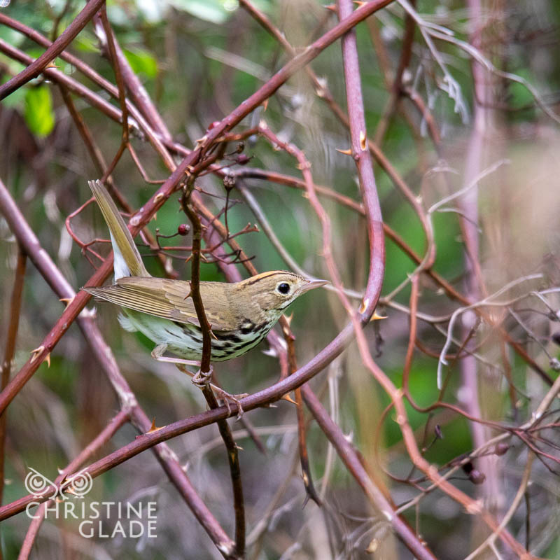 Ovenbird in the Thicket of Things