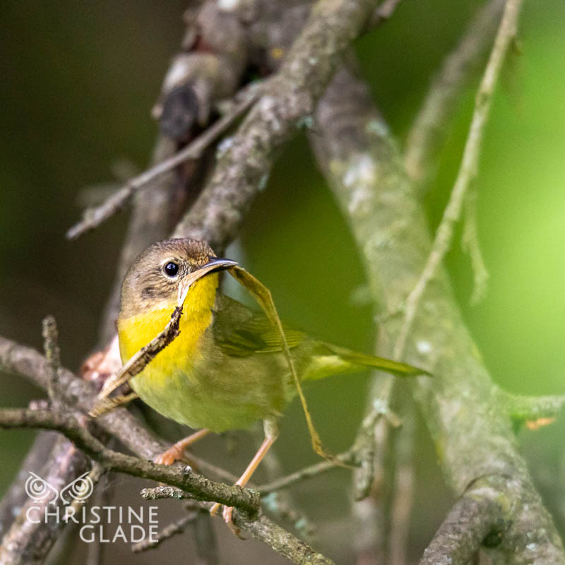 Common Yellowthroat female building her dream home