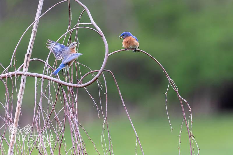 Female and male Bluebird in Flight
