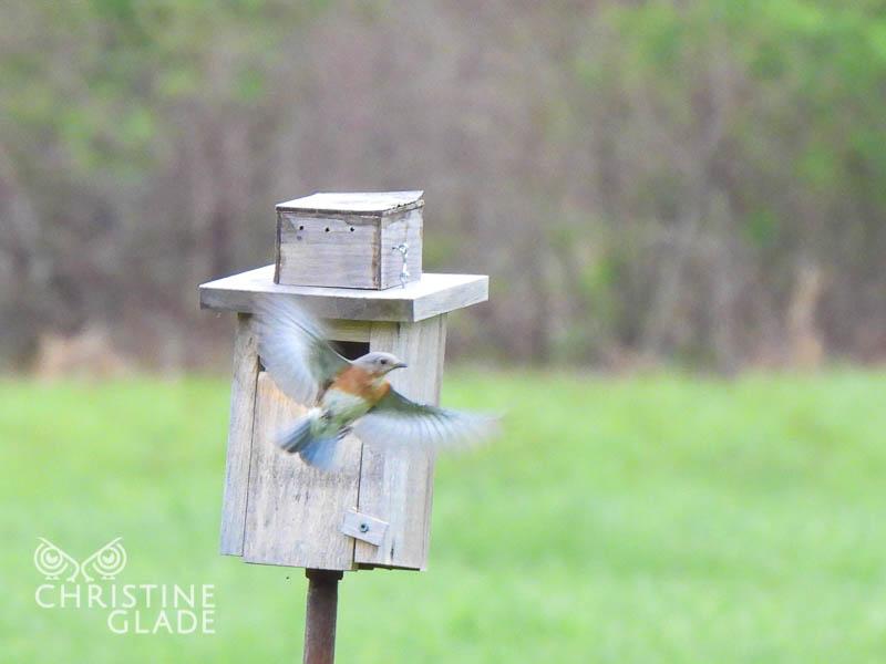 Mother Bluebird in Flight