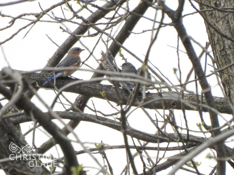 Female Bluebird Feed Young