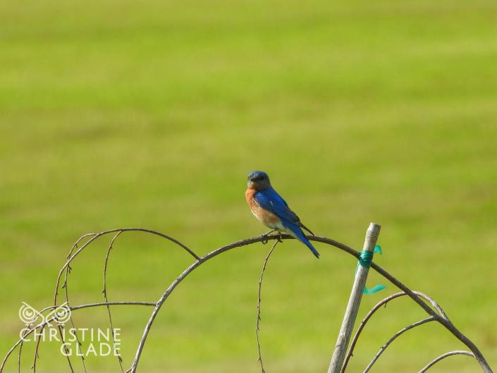 Replacement Male Bluebird